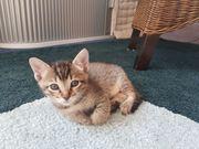 Siam-Russisch Blau Mix Kitten
