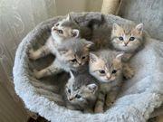 BKH kitten Blue Point tabby