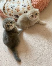 2 Scottish Fold Kitten Jungs
