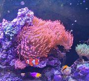4 Kupferanemonen Blasenanemonen Korallen