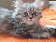 Perserkater Katzenbaby Babykater