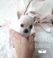 Süße Mini Chihuahua Welpen