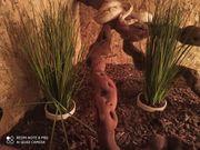 Königspython Bamboo mit Terrarium