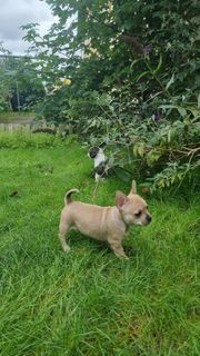 Französische bulldogge Chihuahua Mix Welpen