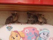 Kanadische Sphynx Katzenbabys 3 Mädchen