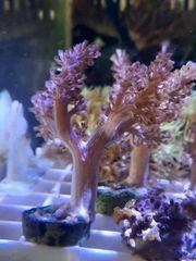 Keniabäumchen Meerwasser Koralle