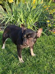 Französische Bulldogge Hündin Schoko Tan