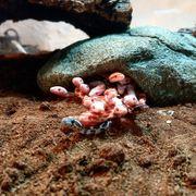 kornnatter pantherophis gutattus