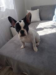 Französische Bulldogge zu verkaufen