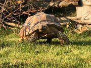 Sporenschildkröten zu verkaufen Pärchen