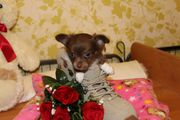 Chihuahua Langhaarwelpe aus Körzucht