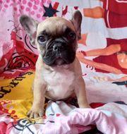 Französische Bulldogge 1 Rüde noch