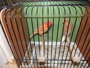 Kanarienvogel Paar 40EUR