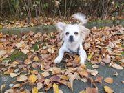 Chihuahua and Shih Tzu Mix