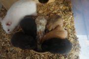 Teddyhamster Hamster Goldhamster zu verkaufen