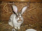 Kaninchen Scheckenmix Häsin zu verkaufen