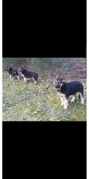 Osteuropäische Schäferhunde welpen