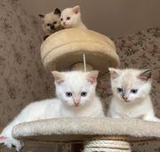 Wunderschöne Baby Katzen