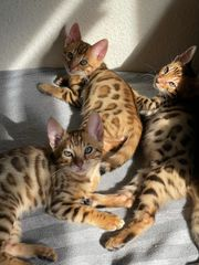 1 Wunderschöne Reinrassige Bengal Kitten