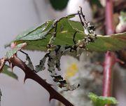 Extatosoma Tiaratum Lichen - Gespenstschrecken