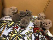 Britische Kurzhaarige Kätzchen