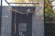 Barnardsittiche Henne spalt blau