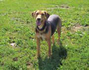 Sinbad Angsthund Jagdhund Mischling Rüde