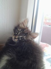 Main Coon Birma Mix