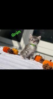 Maike-coon Halloween kitten