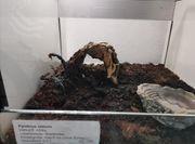 Skorpion Pandinus Viatoris