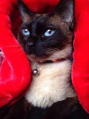 verkaufe Siamkatzen Kitten