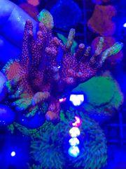 Meerwasser Korallen Ableger SPS LPS