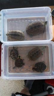 Dreikiehlschildkröten