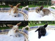 junge Kaninchen Zwergkaninchen Zwergwidder NHD
