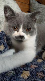 Britisch Kurzhaar BKH Kitten mit