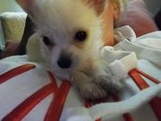 Mischling Mini Chihuaha Yorkshire Terrier