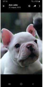 Französiche Bulldogge Welpe