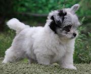 Malteser Pomeranian Zwergspitz Babys