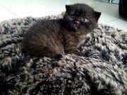 BKH Kitten Black Smoke