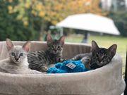Reinrassige Savannah F6 Kitten aus