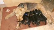 Airedale-Terrier-Rüdenwelpen KfT mit Pap ab