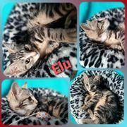 Wunderschöne Baby Katze Kitten Elu