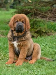 Mastiff tybetan
