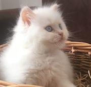 Süße BLH BKH Kitten Junge