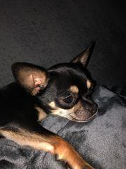 Chihuahua sucht Endplatz