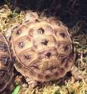 Russische Landschildkröten Agrionemys horsfiedii aus