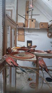 Bourkesittiche rosafarbenen