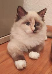 Wunderschöne Ragdoll Kitten