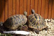 Griechische Landschildkröten Thb weibl