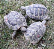 Griechische Landschildkröten Test herm hercegovinensis -